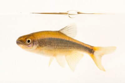 Photo: A broadstriped shiner (Pteronotropis euryzonus) at Conservation Fisheries in Knoxville, Tennessee.