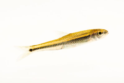 Photo: A coosa shiner (Notropis xaenocephalus) photographed at the Alabama Aquatic Biodiversity Center in Marion, AL. This fish was collected from Walnut Creek, Chilton County, AL.