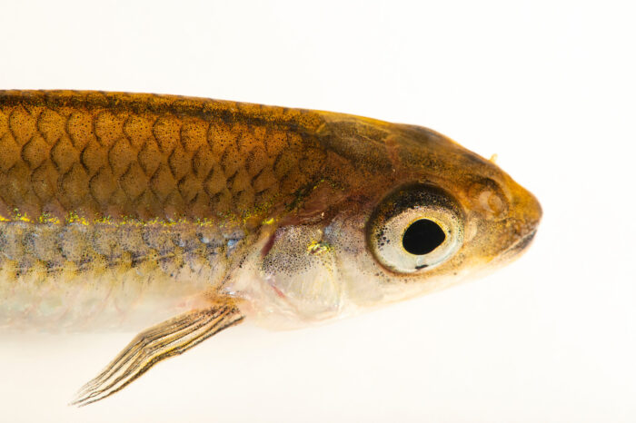 Photo: An ironcolor shiner (Notropis chalybaeus) at the Medicine Park Aquarium and Natural Sciences Center in Medicine Park, OK.