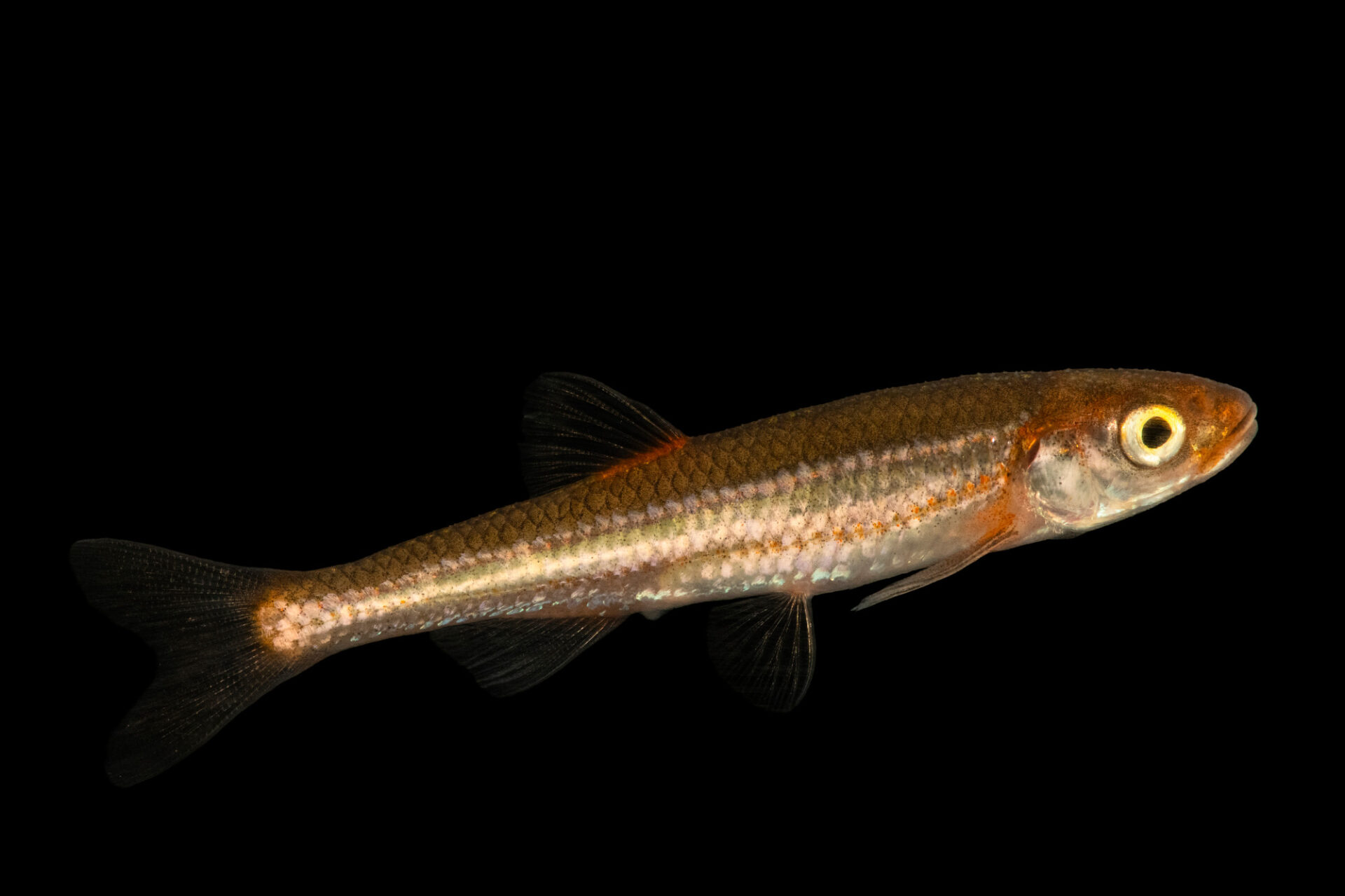 Photo: A carmine shiner (Notropis percobromus) at the Oklahoma Aquarium in Jenks, OK.