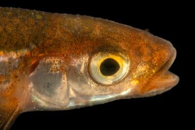 Photo: A carmine shiner (Notropis percobromus) at the Oklahoma Aquarium in Jenks, OK.