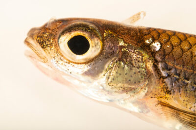 Photo: A mimic shiner (Notropis volucellus) at the Center for Aquatic Mollusk Programs in Lake City, Minnesota.