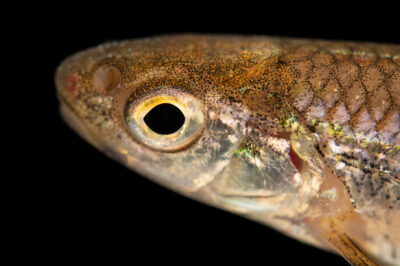 Photo: A bigeye shiner (Notropis boops) at the Pontotoc Ridge Preserve near Connerville, OK.