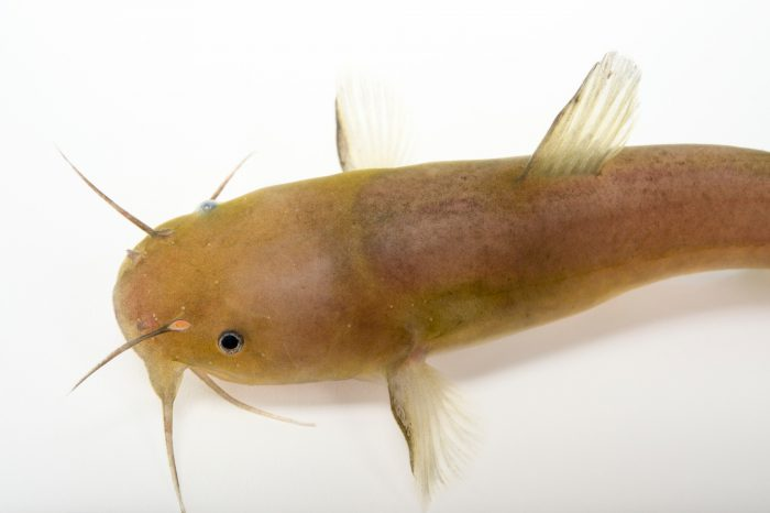 Picture of a black madtom (Noturus funebris) from the Yellow River, Florida, at the US Geological Survey Southeast Science Center.