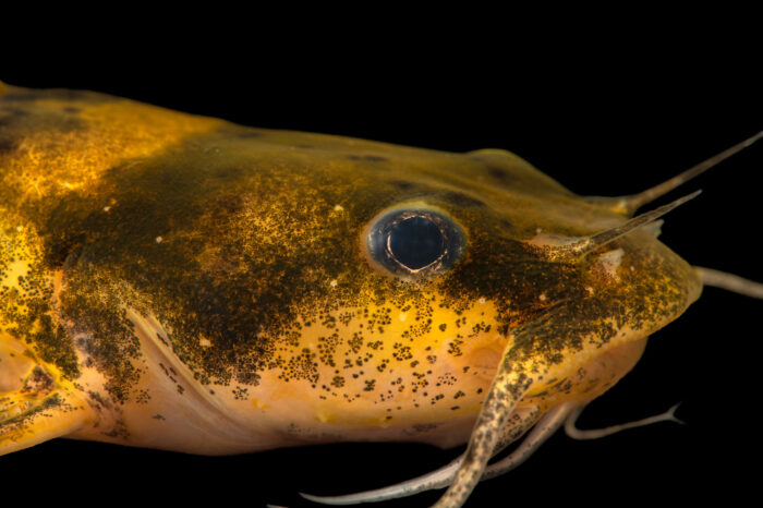 Photo: An endangered adult Carolina madtom (Noturus furiosus) at Conservation Fisheries in Knoxville, Tennessee.
