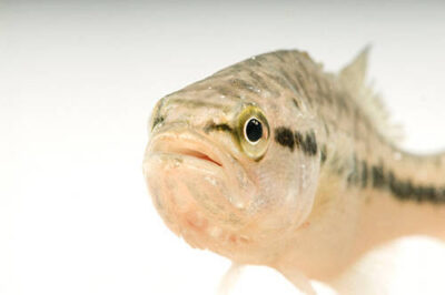 A largemouth bass (Micropterus salmoides) at the Genoa National Fish Hatchery.