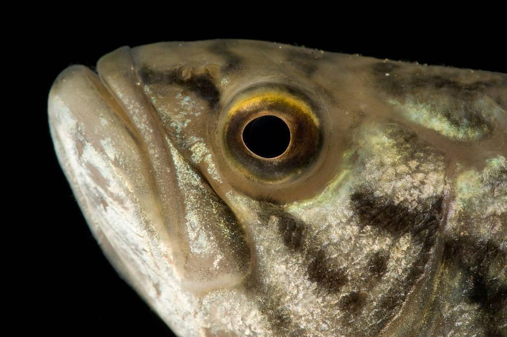Smallmouth bass (Micropterus dolomieu) at the Genoa National Fish Hatchery.