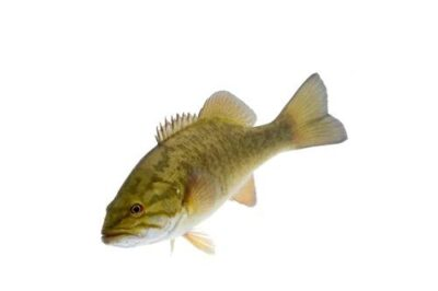 A smallmouth bass (Micropterus dolomieu), wild-caught from the Clark Fork River near Noxon, Montana.