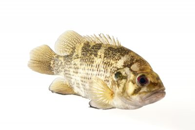A rock bass (Ambloplites rupestris) at Gavins Point National Fish Hatchery and Aquarium.