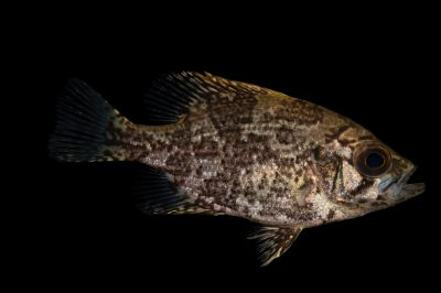 Picture of a shadowbass (Ambloplites ariommus) at the US Geological Survey Southeast Science Center.