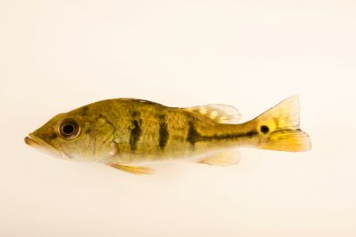 Photo: Kelberi peacock bass (Cichla kelberi) from a private collection.