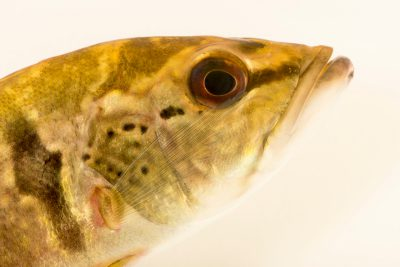 Photo: Speckled pavon or speckled peacock bass (Cichla temensis) from a private collection.