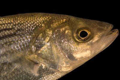 Photo: Striped bass (Morone saxatilis) at Welaka National Fish Hatchery Aquarium.