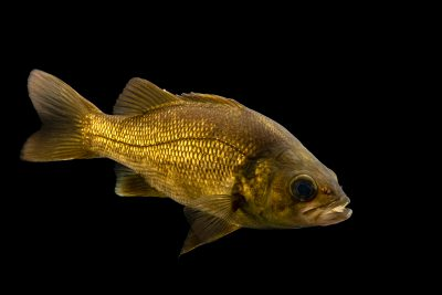 Photo: Australian bass (Macquaria novemaculeata) at the Freshwater Ecology and Marine Biology Dept. at Templestowe College.