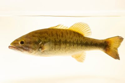 Photo: Spotted bass (Micropterus punctulatus) at East Bay Regional Park District.