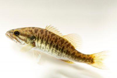 Photo: A shoal bass (Micropterus cataractae) at the Fish Biodiversity Lab, Auburn University, Auburn, Alabama.
