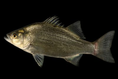 Photo: A sand bass (Morone chrysops) at the Oklahoma City Zoo.