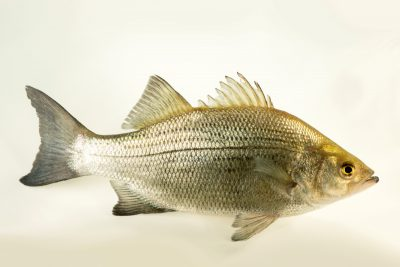 Photo: A sand bass (Morone chrysops) at the Oklahoma City Zoo.