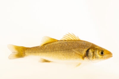 Photo: A sea bass (Dicentrarchus labrax) at the Littoral Station of Aguda, Portugal.