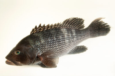 Photo: A black sea bass (Centropristis striata) at the Maine State Aquarium in West Boothbay, ME.