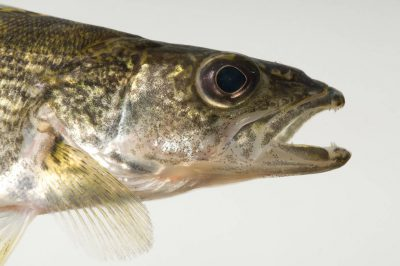 Photo: A walleye (Sander vitreum) at the Genoa National Fish Hatchery.