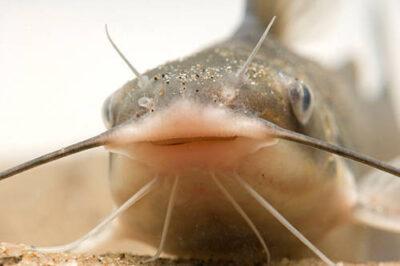 A channel catfish (Ictalurus punctatus) at the Genoa National Fish Hatchery.