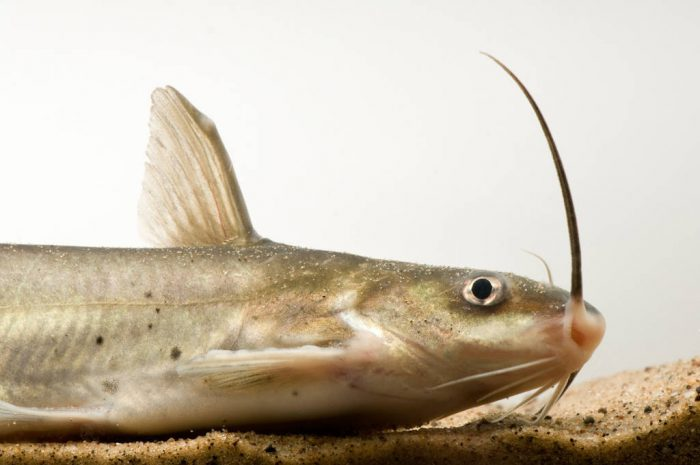 A channel catfish (Ictalurus punctatus) at the Genoa National Fish Hatchery.