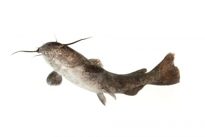 A stonecat (Noturus flavus) at Gavins Point National Fish Hatchery and Aquarium.