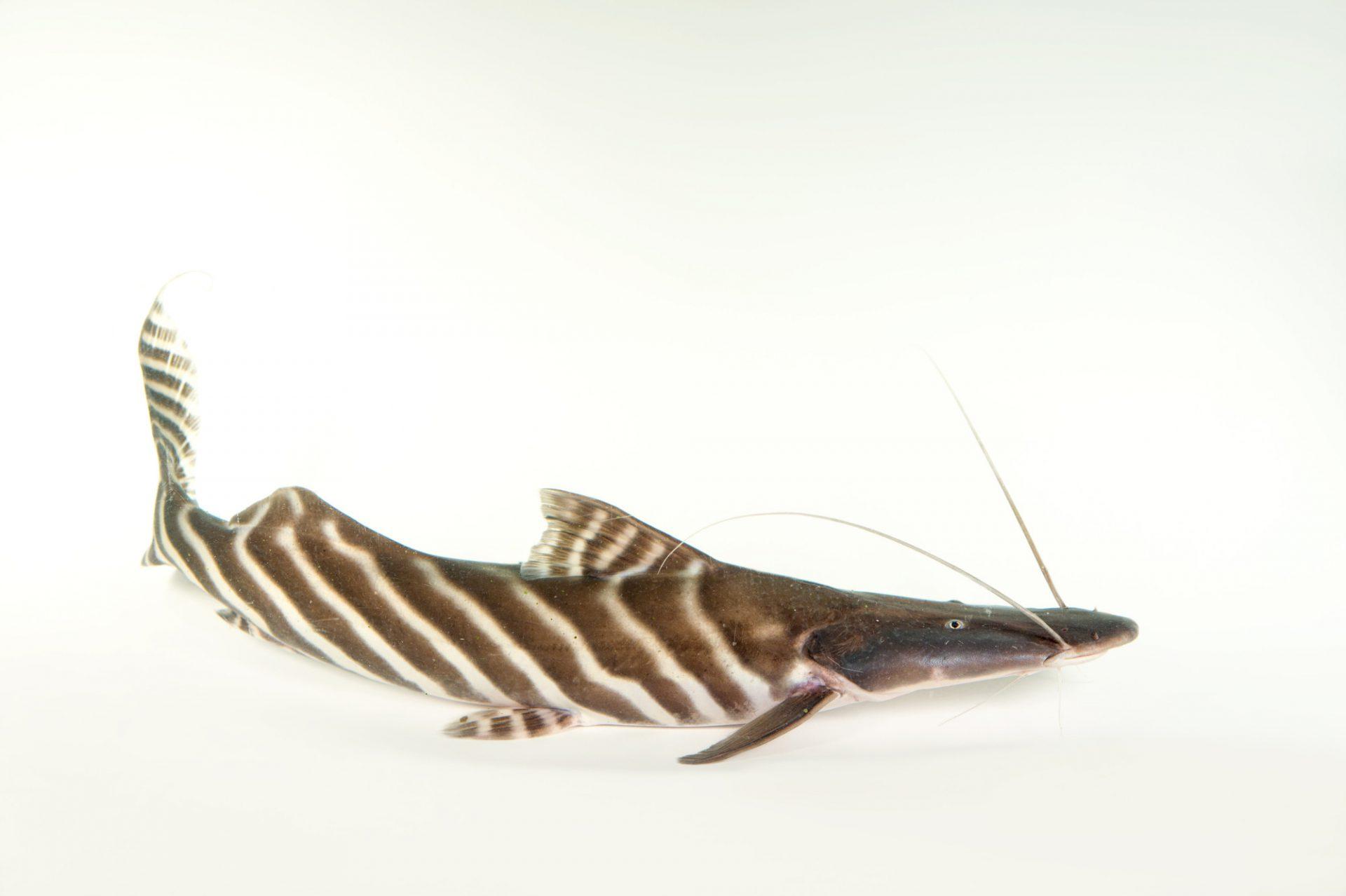 A tiger-striped catfish (Brachyplatystoma tigrinum) at the Dallas World Aquarium.