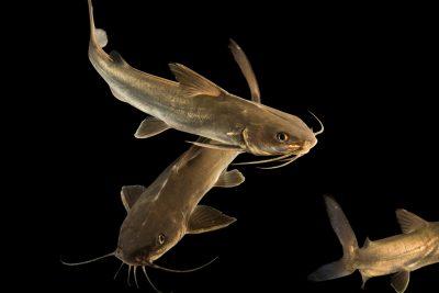 Photo: Hardhead sea catfish (Arius felis) at Gulf Specimen Marine Lab and Aquarium.