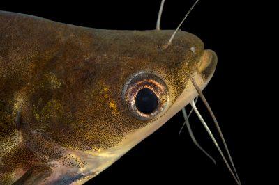 Photo: Silver catfish (Schilbe intermedius) at L'aquarium tropical du palais de la Porte DorŽe.