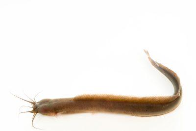 Photo: Flathead eel catfish (Gymnallabes typus) at L'aquarium tropical du palais de la Porte DorŽe.