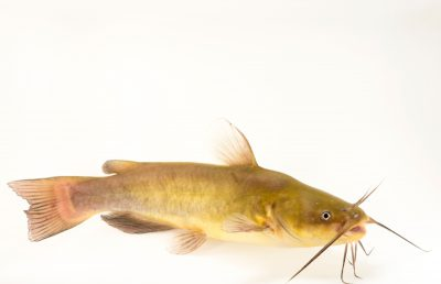 Photo: Yellow bullhead (Ameiurus natalis) at the Albuquerque BioPark Aquarium.