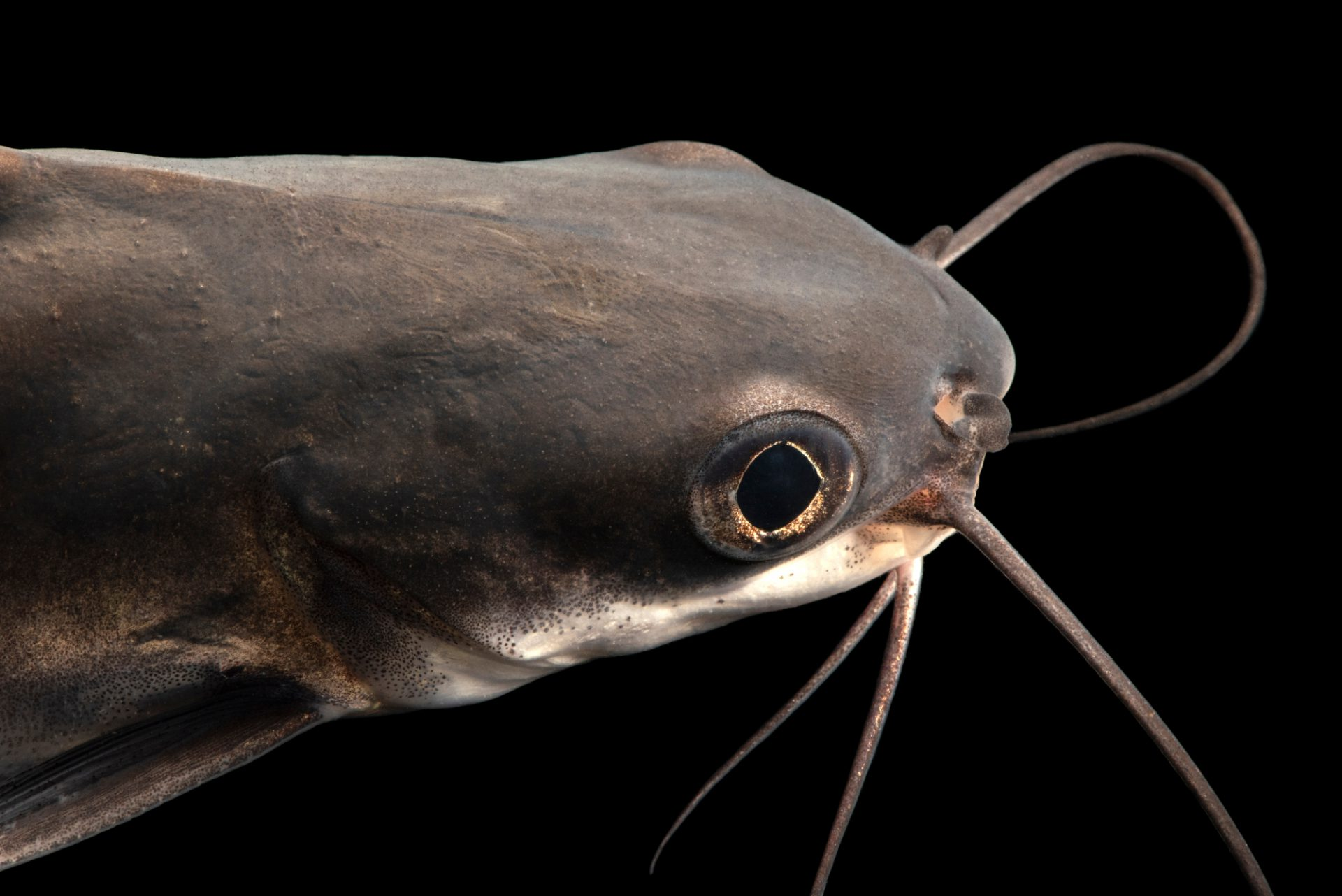Photo: Highfin catdfish (Neoarius berneyi) at the Freshwater Ecology and Marine Biology Dept. at Templestowe College.