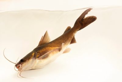 Photo: Blue catfish (Neoarius graeffei) at the Freshwater Ecology and Marine Biology Dept. at Templestowe College.