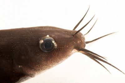 Photo: Black catfish (Neosilurus ater) at the Freshwater Ecology and Marine Biology Dept. at Templestowe College.