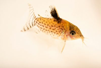 Photo: Agassiz's catfish (Corydoras agassizi) at the Oklahoma City Zoo.