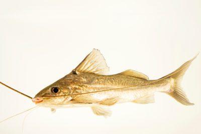 Photo: Bloch's catfish (Pimelodus blochii) at the Oklahoma City Zoo.