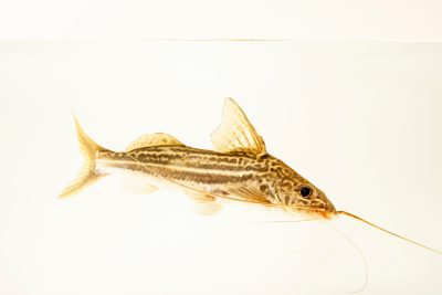 Photo: Pictus catfish (Pimelodus pictus) at the Oklahoma City Zoo.