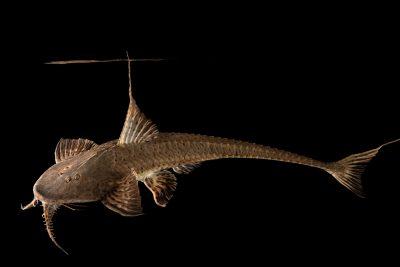 Photo: A spoon head catfish (Planiloricaria cryptodon) at the Dallas World Aquarium.