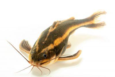 Photo: A striped Raphael catfish (Platydoras armatulus) at the Fish Biodiversity Lab at Auburn University.