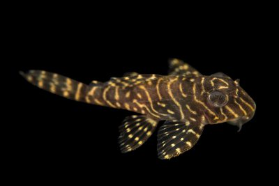 Photo: L260 Queen Arabesque plecostomus, Hypancistrus sp., from a private collection.