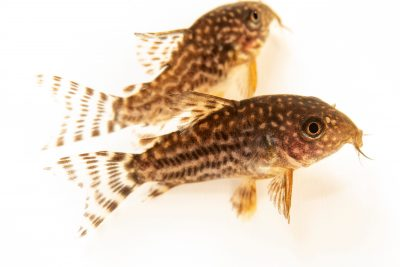 Photo: Sterba's corydoras (Corydoras sterbai) from a private collection.