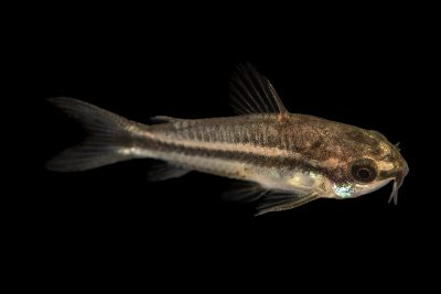 Photo: Pygmy catfish (Corydoras pygmaeus) from a private collection.