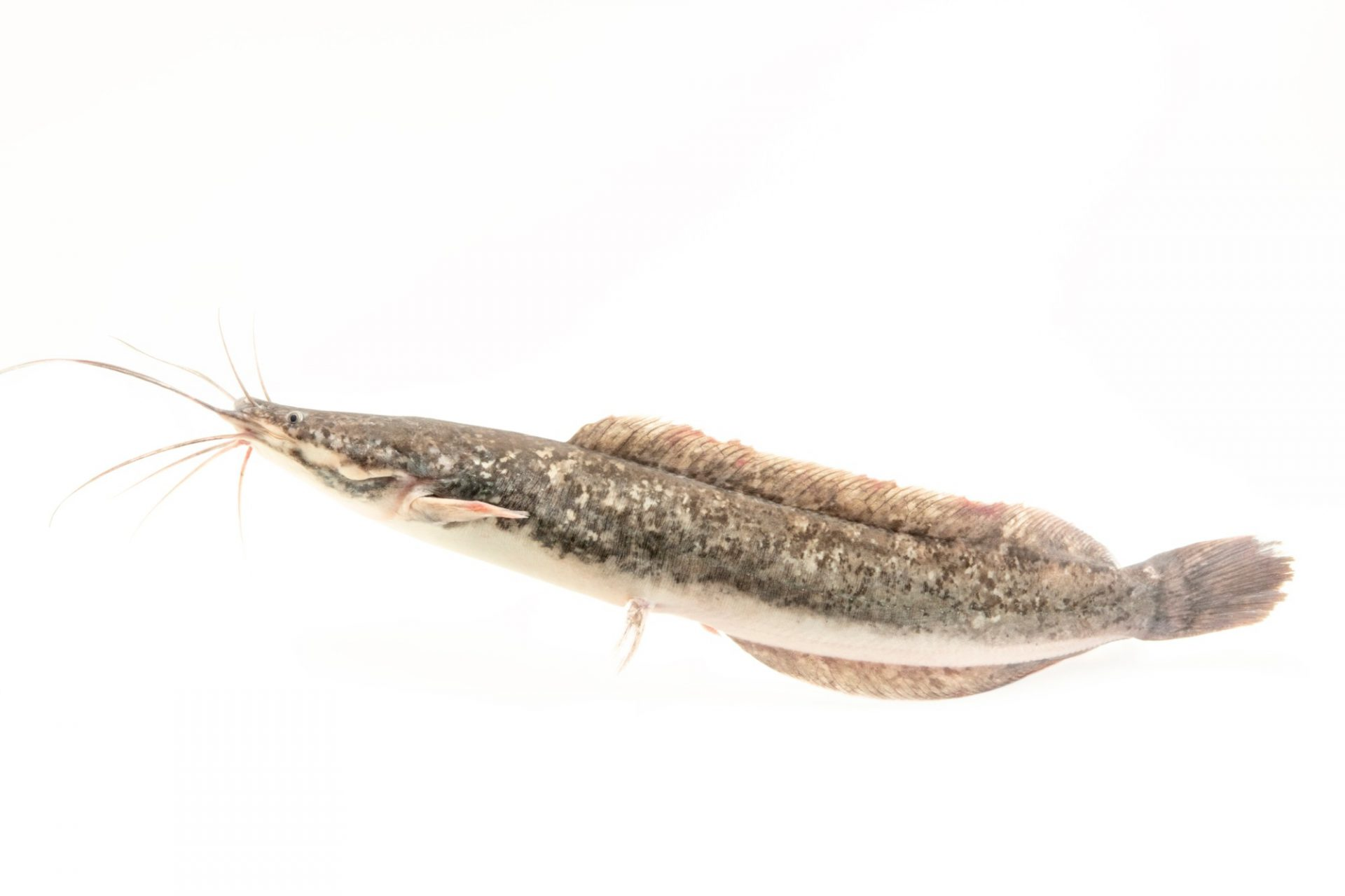Photo: An African sharptooth catfish (Clarias gariepinus) at Davao Crocodile Park.