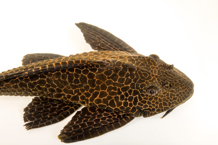 Photo: A leopard plecostomus (Pterygoplichthys gibbiceps) from a private collection.