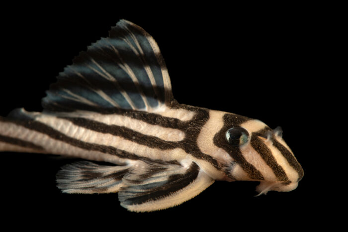 Photo: A zebra plecostomus catfish (Hypancistrus zebra) at the aquarium of the Manaus Zoo. This zoo is ran by the military, or CIGS.
