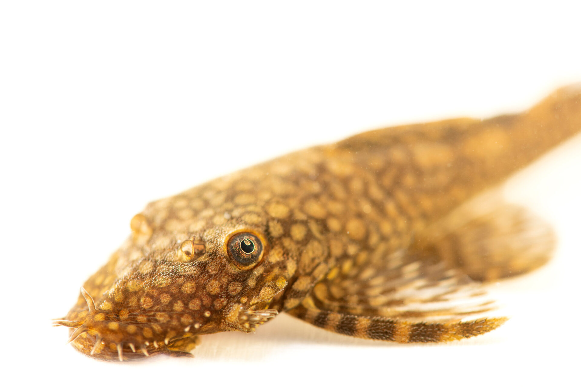 Photo: A spotted bristlenose plecostomus (Ancistrus hoplogenys) at the aquarium of the Manaus Zoo. This Zoo is ran by the military, or CIGS.