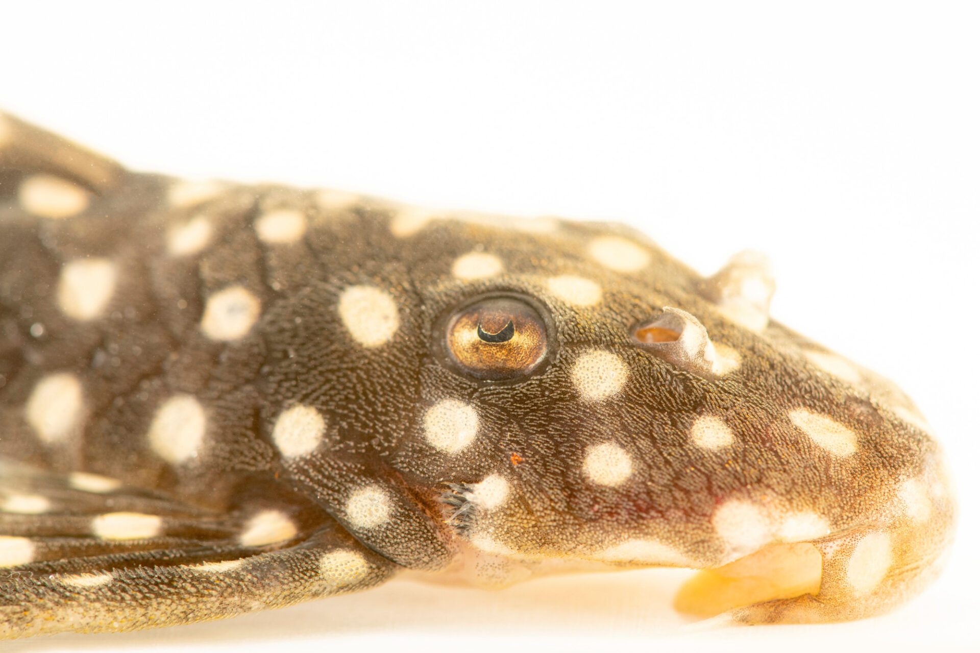Photo: A snowball pleco (Hypancistrus inspector) at the aquarium of the Manaus Zoo. This Zoo is ran by the military, or CIGS.
