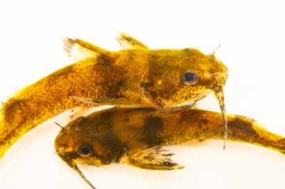 Photo: Two frecklebelly madtom (Noturus munitus) photographed at the Alabama Aquatic Biodiversity Center in Marion, AL. This fish was collected from the Cahaba River, Perry County, AL.